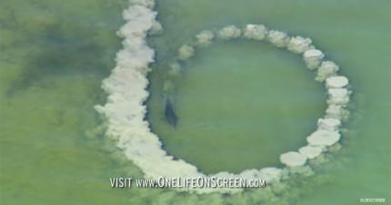這群海豚在淺海區繞著圈拍打出「泥牆」,直到越繞越小我才懂背後超聰明的原因!