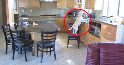 主人發現家中食物常失蹤決定設相機緝凶,沒想到家中狗狗平常只是裝憨!