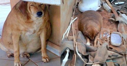 這隻流浪狗被亂餵成36公斤的胖氣球,好在被救援狠甩肥肉,最後一張照片讓我太感動了!