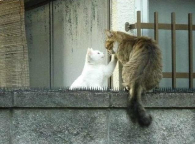這隻貓咪不怕痛地走在「擺滿刺刺墊的圍牆」,這原來是最淒美的愛情故事啊!