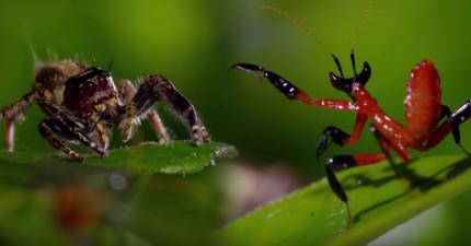 「螳螂使出螳螂拳」對抗跳蜘蛛是個你不能錯過的戰鬥!不過最後超意外結局把我的夢粉碎了...