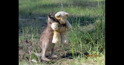 這張孤兒小袋鼠抱著泰迪熊的照片在網路上大暴紅,現在我終於懂為什麼了!