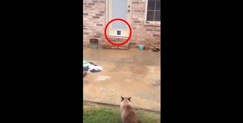 主人幫貓咪安裝了一個寵物門,但貓咪使用的方法讓主人發現到真的太低估貓咪了...