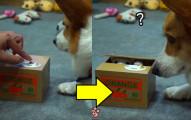 柯基得知自己的肉乾「被存錢筒的貓咪偷走」之後,完全怒到爆炸了!