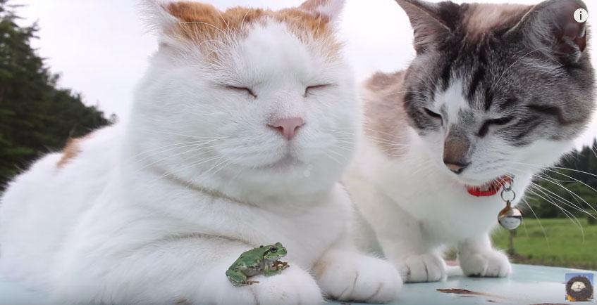 左邊這隻胖貓在跟他最要好的青蛙朋友休息,但右邊這隻貓完全心懷不軌...
