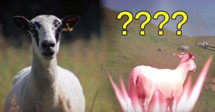 我不太確定自己看了什麼,但這隻羊剛剛似乎「發射出龜派氣功」了...