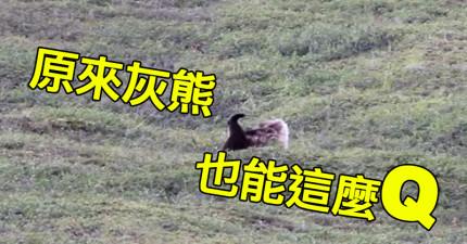 他們都覺得大灰熊超兇猛不敢靠近,但下一秒大灰熊自己玩耍滾下山丘的模樣讓我笑噴了!