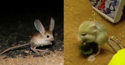 10個原因為什麼小「跳鼠」是你心中最可愛的動物。