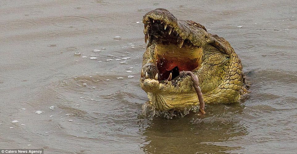 2B3DE25500000578-3192197-Supper_A_hungry_crocodile_quickly_seized_upon_the_remains_of_the-m-52_1439205226464