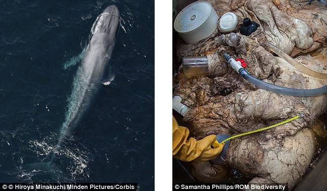 全世界最大哺乳動物藍鯨心臟首度曝光,驚人大小已經直逼車子尺寸了!