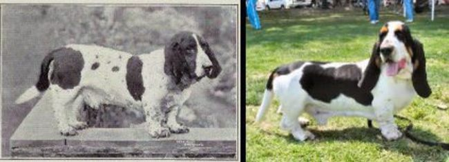 8種狗狗100年的品種改良辛酸史,看完你就再也不會去寵物店買狗了!