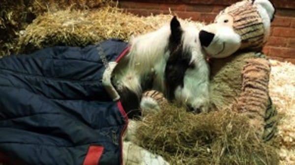 這隻看起來像是快要死的羊,被拯救後竟然變成了最美的駿馬!