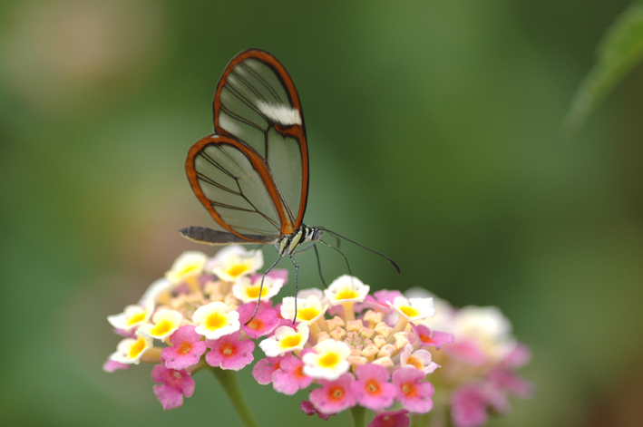 這隻蝴蝶的翅膀絕美透明到像是PS過,但更威猛的其實是背後超強的功能!