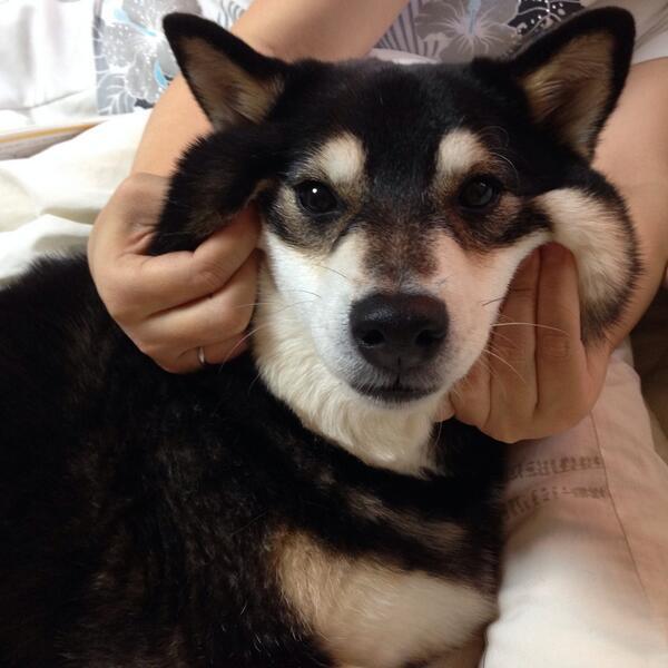 看過這15張「柴犬被捏臉」照片後,你可能就再也無法回到你之前的無聊生活了。