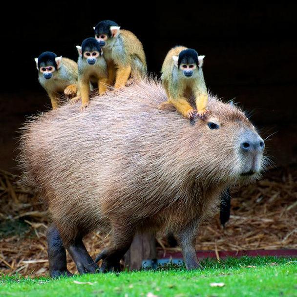 """""""Mush, capybara, mush!"""""""