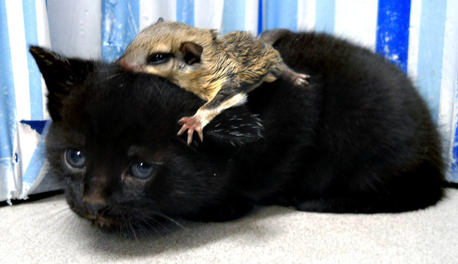 This kitten is a perfect place for a baby flying squirrel to nap.
