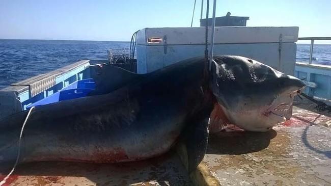 漁夫剛釣到雙髻鯊正要收線拉起,結果卻意外拉出這條沒有人看過的4公尺巨獸!