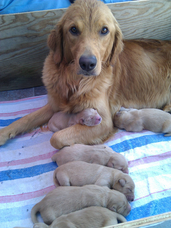 My Golden Retriever And Her 3 Day Old Puppies
