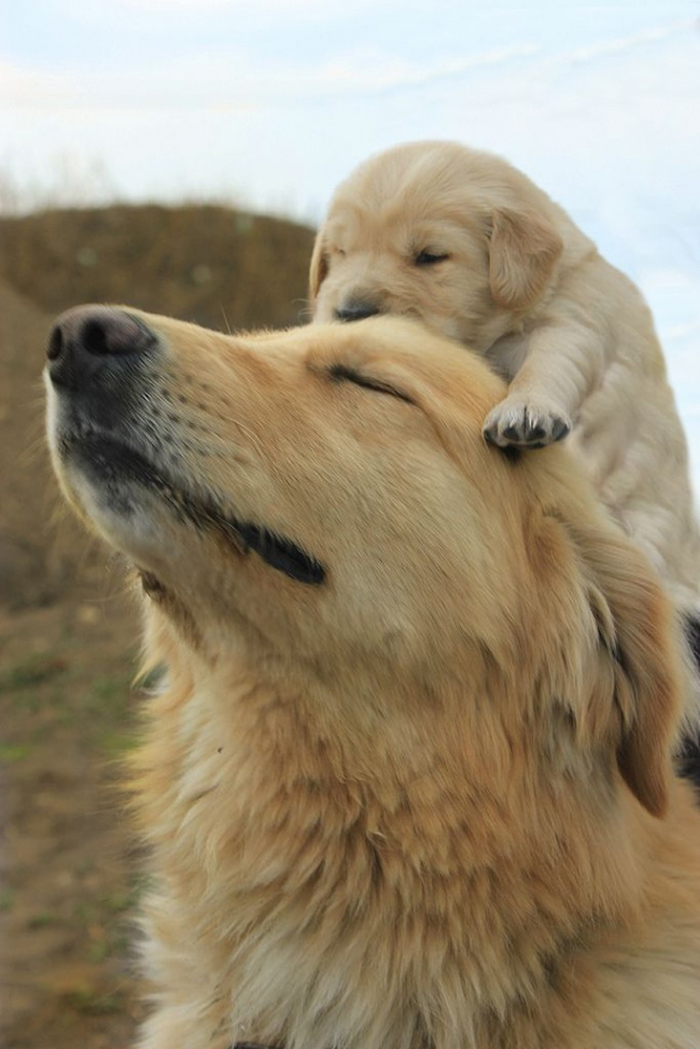 32張「原版狗狗和他們的縮小版」的爆可愛照片