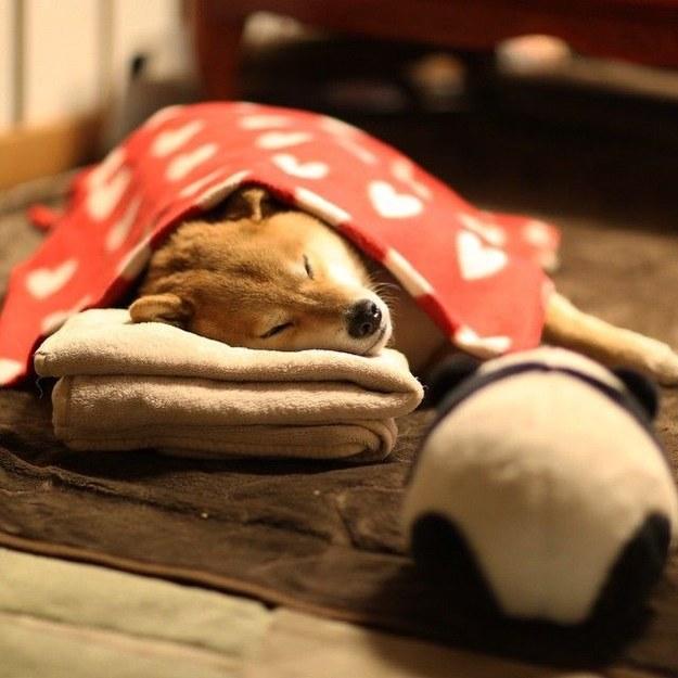 16隻光是用眼睛看都可以療癒你不爽心情的超可愛睏睏柴犬。