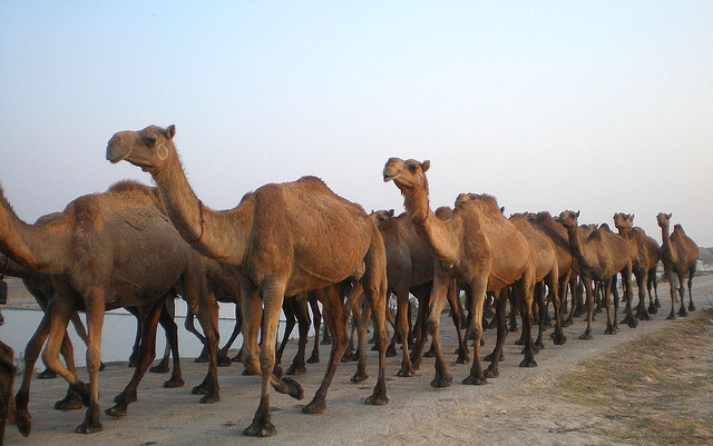 Australia exports camels to Saudi Arabia for meat consumption.