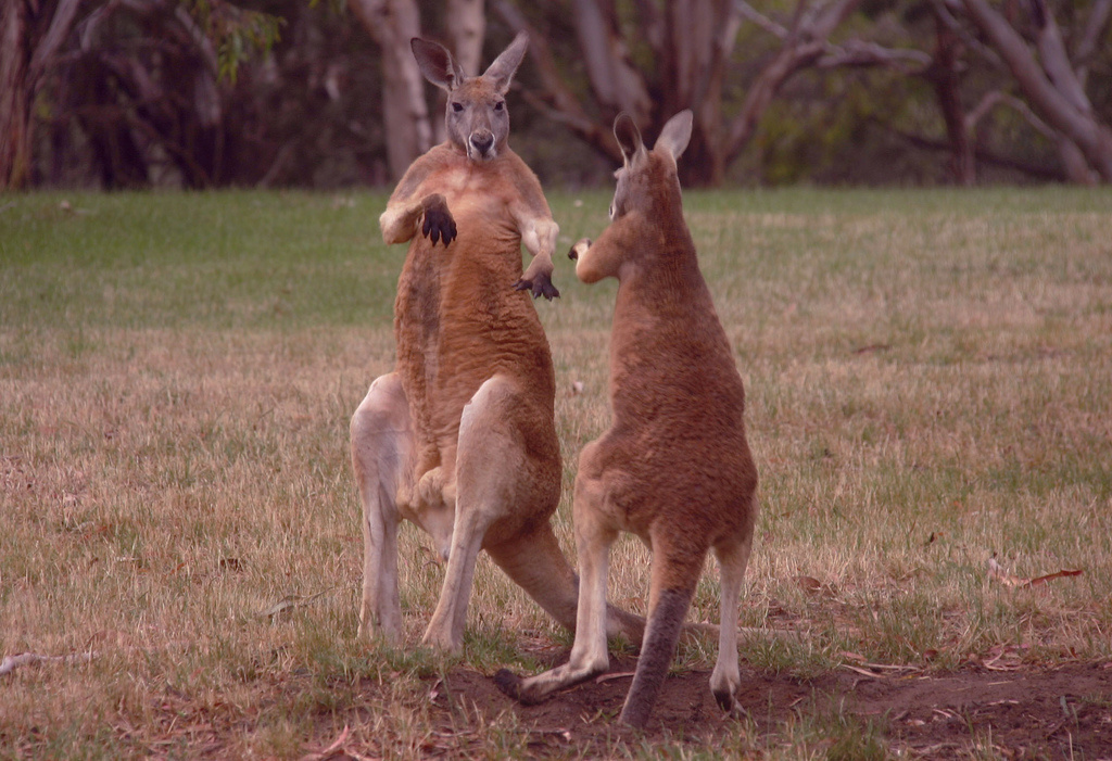 The kangaroo is the country's national animal. It is also hunted in the wild for its meat and fur.