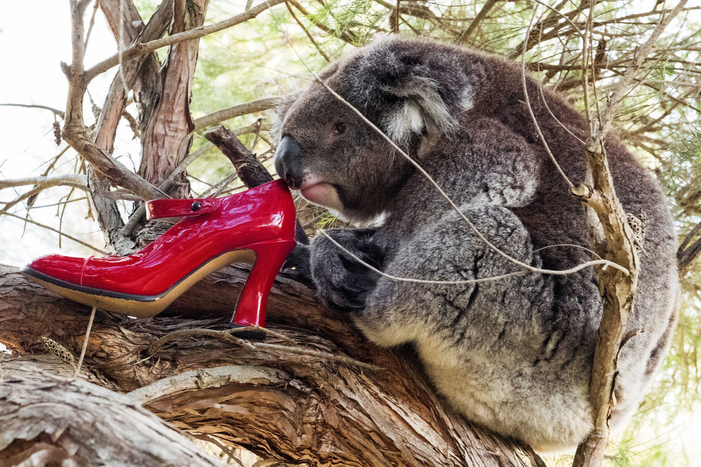 Koalas have been listed as a threatened species due to 50% of the population dying from chlamydia.