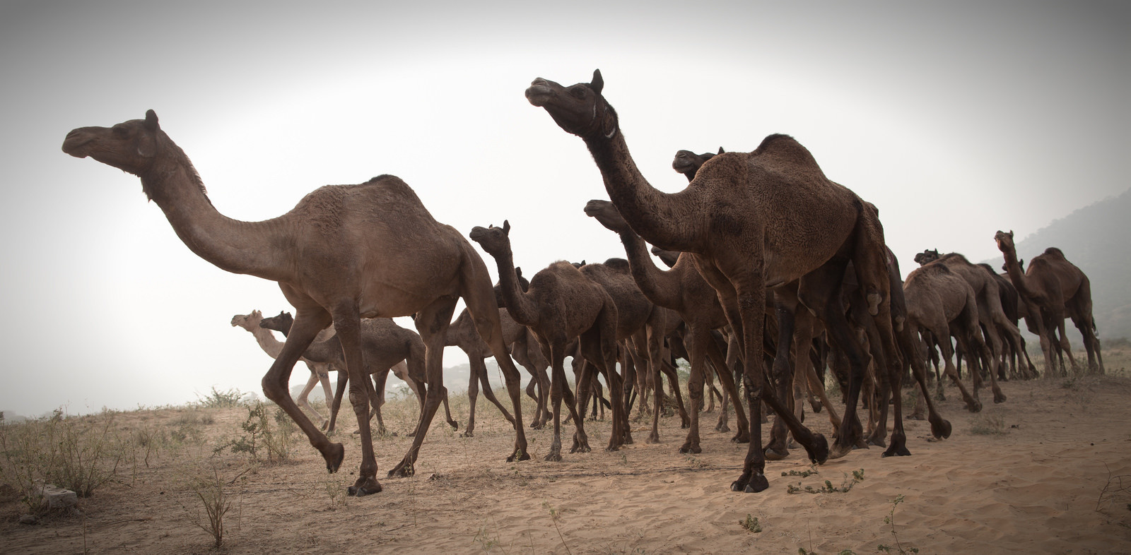 In 2009, the town of Docker River in Australia was under siege when 6,000 camels went in search of water.