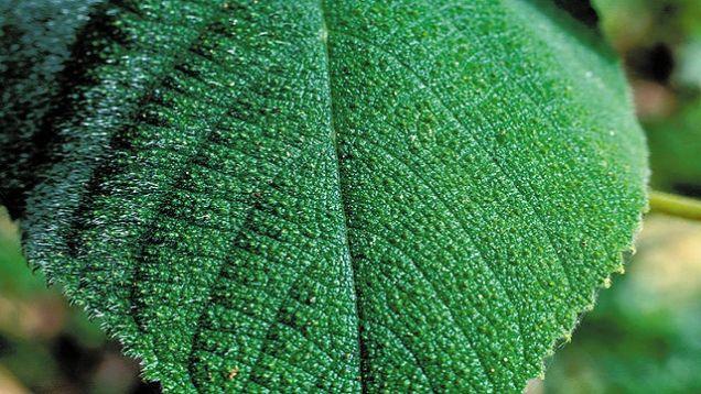 千萬不要碰到這個植物!它不但會讓你一碰到就痛到嘔吐,還有人曾為了減輕疼痛感而自殺!
