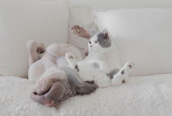 shar-pei-dog-paddington-friend-annie-cat-15