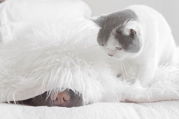 shar-pei-dog-paddington-friend-annie-cat-7