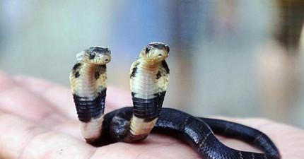中國誕生這條罕見的「雙頭蛇」,看到兩個頭想「各走各的路」的模樣實在太可愛啦!