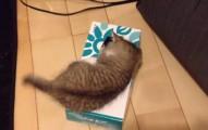 這隻小小貓一直狂挖面紙盒,直到終於看到裡面是什麼...我都被萌到站不穩了。