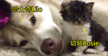這隻小貓咪本來差點死了,直到這隻哈士奇出現在她的生命中!