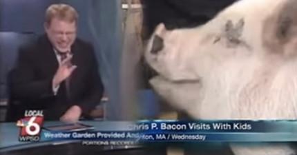 在主持人報導念到這隻無腿小豬的「名字」後,他已經完全失控笑到說不出話來了。