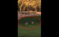 他們在高爾夫球場上看到兩隻小兔子在打架,他們拆招的模樣真的讓我大開眼界!