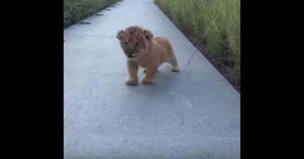 這頭小老虎寶寶很明顯不知道自己還超小隻,拼命擠出吼叫的模樣讓我快萌死了!