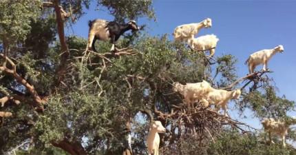 這個人在摩洛哥旅遊的時候在樹上意外發現到最新品種...樹羊!是長在樹上的?!