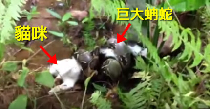 可憐的小貓咪被殘酷的巨蚺蛇纏住了,即將要被擠壓致死,好在有人終於出手相救!