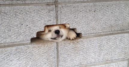 路人看到這隻狗狗拼了命想要把頭塞過去,當他成功塞過去後,那超可愛景象讓人快融化了!
