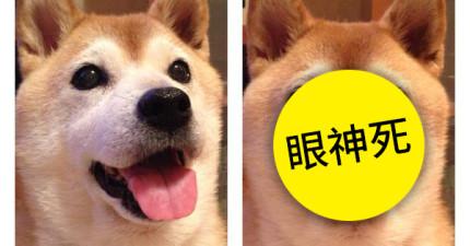 柴犬原本超期待吃毛豆,但看到主人吃下後...立刻露出「再也不相信人類」的表情。