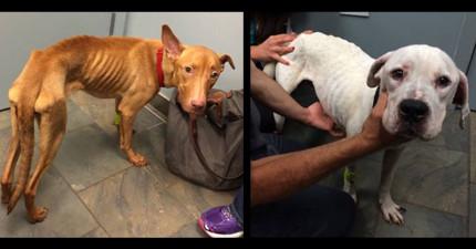 警方在廢棄建築裡找到這兩隻「瘦到剩骨頭的可憐骷髏狗狗」,看到他們之後變回狗狗的模樣會讓你很放心!