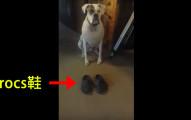 這隻狗狗發現到Crocs鞋穿起來超舒服,結果就算尺寸不和還一直穿著到處亂走不肯脫下來!