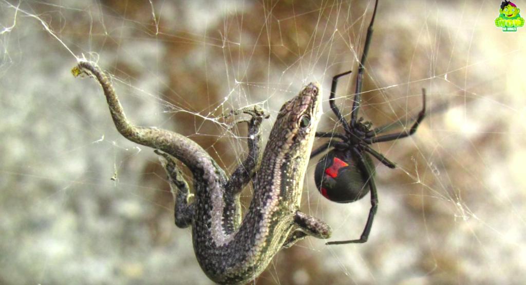 全球前5毒的蜘蛛與牠們的毒所造成的潰爛,讓人看了不拔腿就跑才怪...慎入!