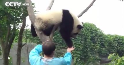 這隻小熊貓怎樣就不肯下來,直到他在0:47得到了一個抱抱...*完全融化*