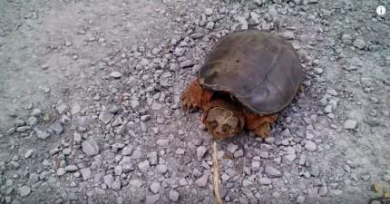 小屁孩拿棍子惹烏龜還以為烏龜無法攻擊到他,下一秒的超惡魔奇襲讓他的手機都掉了!