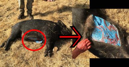 牧場主人殺死亂竄的野豬並解剖後,發現一個人類完全無法理解的「豬脂肪世界」!