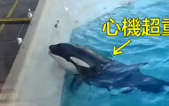 殺人鯨為了抓海鳥所策劃的「心機超重大騙局」,人類終於看懂後也都嚇壞了!