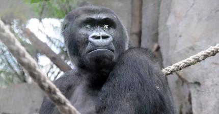 這隻大猩猩的女兒不幸猝死後,她「近乎人類母親」的舉動讓人看得忍不住落淚。