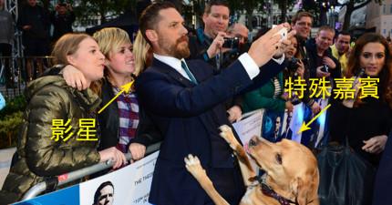 影星湯姆·哈迪帶到最新電影首映會的「另一半」,讓大家看了都爭相拿出手機搶著拍照!